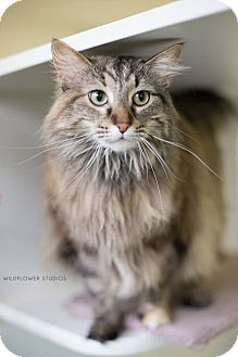 Domestic Longhair Cat for adoption in Muskegon, Michigan - missy