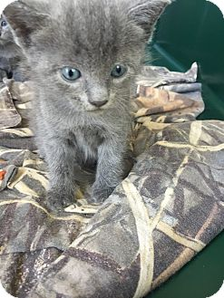 Russian Blue Kitten for adoption in Baton Rouge, Louisiana - 3 females