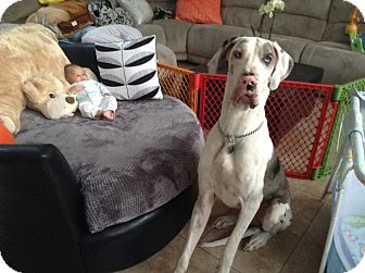 Great Dane Dog for adoption in Oviedo, Florida - Lord