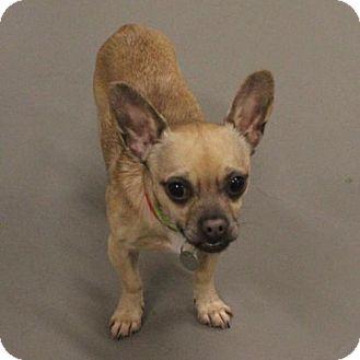 Chihuahua Mix Dog for adoption in Atlanta, Georgia - Tike
