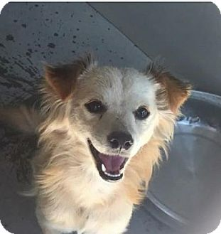 Spaniel (Unknown Type) Mix Dog for adoption in Rancho Cucamonga, California - Cleo