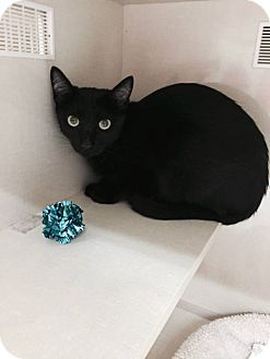 American Shorthair Cat for adoption in Mesa, Arizona - ELI 1 YR OLD MALE@PETCO