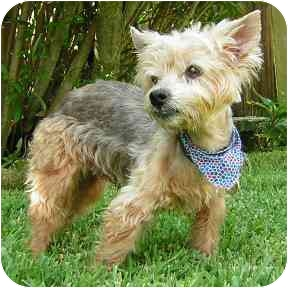 Yorkie, Yorkshire Terrier Dog for adoption in Moulton, Alabama - Buddy