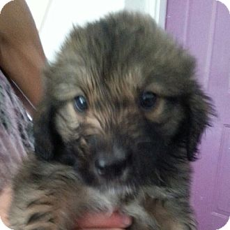 Labrador Retriever/Great Pyrenees Mix Puppy for adoption in Pompton Lakes, New Jersey - Shaggy Dog