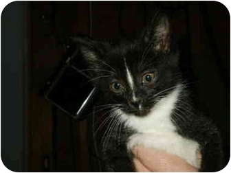 Domestic Shorthair Kitten for adoption in Mason City, Iowa - Constance