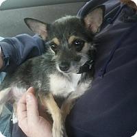 Adopt A Pet :: Lola - Mount Kisco, NY