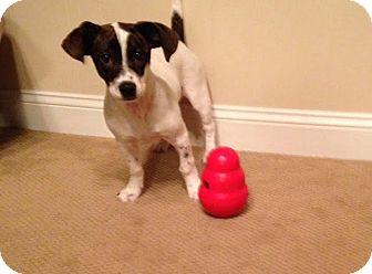 Jack Russell Terrier/Dachshund Mix Puppy for adoption in Cincinnati, Ohio - Loki