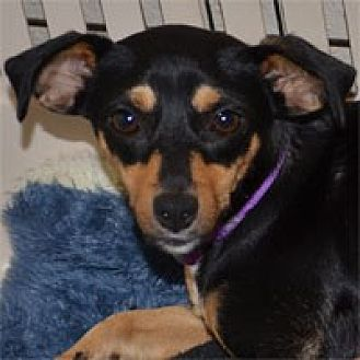 Chihuahua/Miniature Pinscher Mix Dog for adoption in Pacific Grove, California - Andie