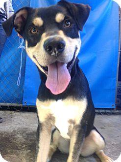 Rottweiler/Labrador Retriever Mix Dog for adoption in Seattle, Washington - Bruno