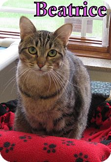 Domestic Shorthair Cat for adoption in Gaylord, Michigan - Beatrice