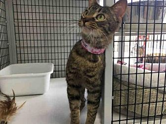 Domestic Mediumhair Cat for adoption in Canfield, Ohio - PHOEBE
