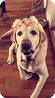 Labrador Retriever Mix Dog for adoption in Grand Ledge, Michigan - Jake