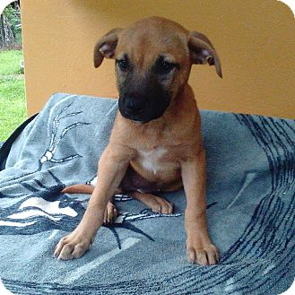 Black Mouth Cur Mix Puppy for adoption in Walden, New York - Hannah