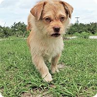 Adopt A Pet :: Leo - Tavares, FL
