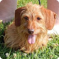 Adopt A Pet :: Heidi (8 lb) Precious Pea - West Sand Lake, NY