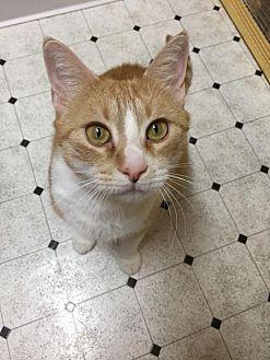 Adopt A Pet :: Amelia  - Blasdell, NY