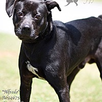 Adopt A Pet :: Alfredo - Newnan City, GA