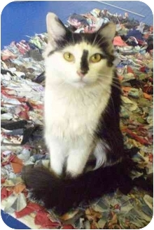 Domestic Mediumhair Cat for adoption in New York, New York - Melissa