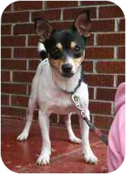 Rat Terrier Dog for adoption in kennebunkport, Maine - Terry - Pending!