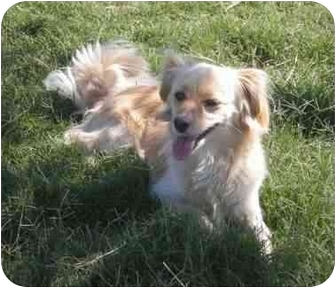 Spaniel (Unknown Type)/Pomeranian Mix Dog for adoption in Patterson, California - MISHA