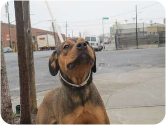Hound (Unknown Type)/Shepherd (Unknown Type) Mix Dog for adoption in Long Beach, New York - Jenny