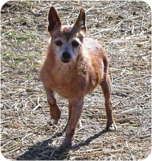 Miniature Pinscher Mix Dog for adoption in Clarksville, Tennessee - Spencer-Senior