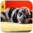 Photo 2 - Dachshund Puppy for adoption in waterbury, Connecticut - Hershey