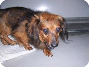 Dachshund Mix Dog for adoption in Olathe, Kansas - Walnut