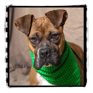 Boxer Dog for adoption in Warren, Pennsylvania - Venus