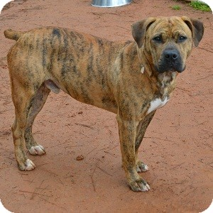 Boxer Mix Dog for adoption in Athens, Georgia - Diamond
