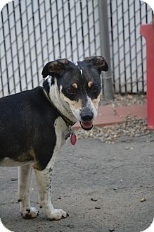 Jack Russell Terrier Mix Dog for adoption in West Hartford, Connecticut - Sparky- In CT