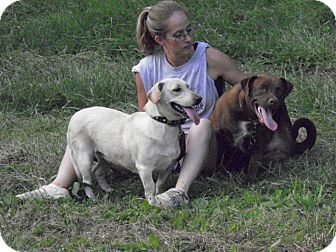 Labrador Retriever/Basset Hound Mix Dog for adoption in Morgantown, West Virginia - Molly
