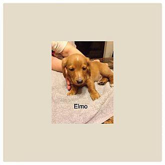 Dachshund/Beagle Mix Puppy for adoption in Crown Point, Indiana - Elmo