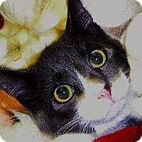 Domestic Shorthair Cat for adoption in Middle Island, New York - Oscar