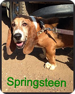 Basset Hound Dog for adoption in Acton, California - Springsteen