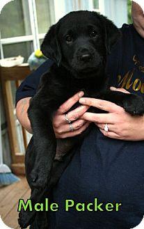 Labrador Retriever/Pug Mix Puppy for adoption in Danbury, Connecticut - Packer