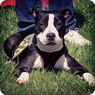 American Pit Bull Terrier/Boxer Mix Dog for adoption in Warrenville, Illinois - Bubbles