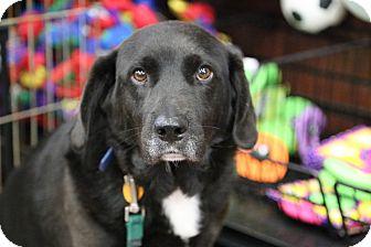 Labrador Retriever/Beagle Mix Dog for adoption in Manassas, Virginia - Geo