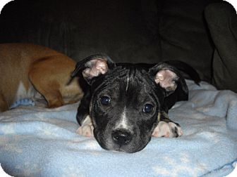 Shepherd (Unknown Type)/Pit Bull Terrier Mix Puppy for adoption in Seahurst, Washington - Frankie