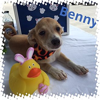 Chihuahua Mix Puppy for adoption in Brownsville, Texas - Benny