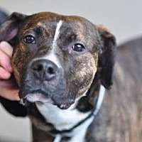 Pit Bull Terrier/Hound (Unknown Type) Mix Dog for adoption in Brooklyn, New York - Oasis URGENT foster or forever