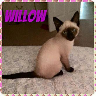Siamese Kitten for adoption in Newnan, Georgia - Willow (TN)