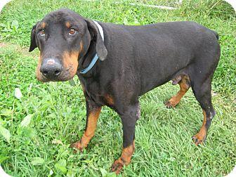 Doberman Pinscher Dog for adoption in New Richmond, Ohio - Bean--pending