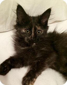 Maine Coon Kitten for adoption in Nashville, Tennessee - Emily