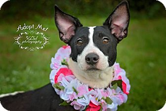 Bull Terrier Mix Dog for adoption in Fort Valley, Georgia - Pebbles