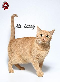 Domestic Shorthair Cat for adoption in Laconia, Indiana - Ms Larry