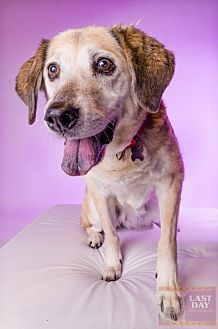 Golden Retriever/Labrador Retriever Mix Dog for adoption in Livonia, Michigan - Jan