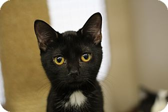 Domestic Shorthair Kitten for adoption in Richmond, Virginia - Molly