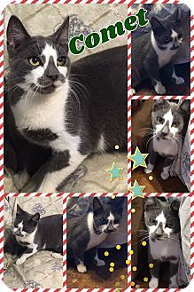 Domestic Mediumhair Kitten for adoption in Ravenna, Texas - Comet