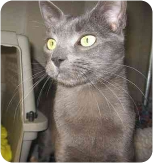 Russian Blue Kitten for adoption in Los Angeles, California - Nikolai